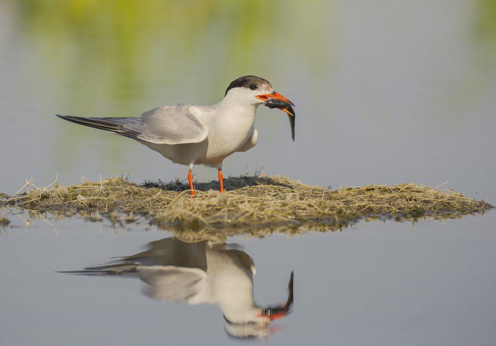 Common tern, Речна рибарка (Sterna hirundo)