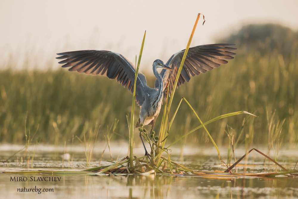 Grey heron/ Сива чапла (Ardea cinerea)