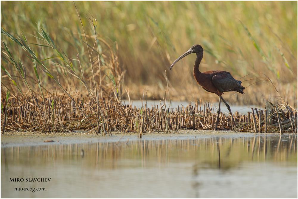 Glossy ibis / Блестящ ибис (Plegadis falcineus)