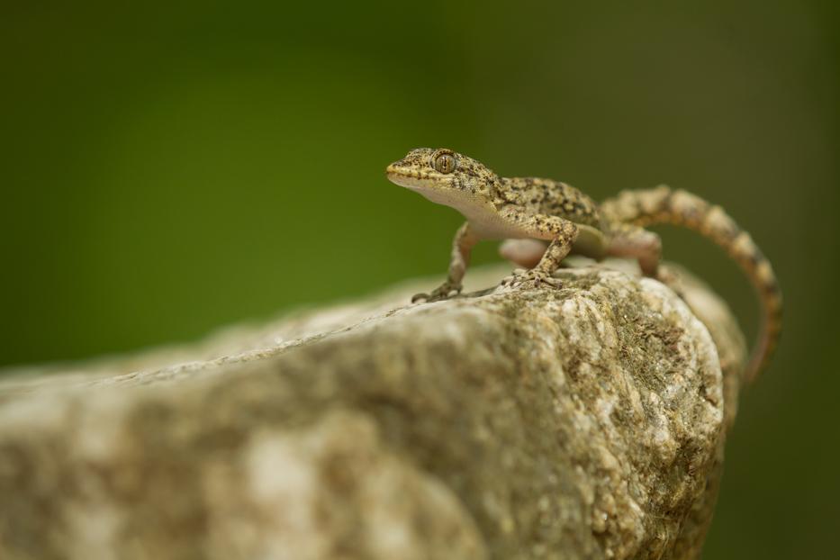 Kotschy's gecko / Ägäische Nacktfinger / Балканският гекон (Mediodactylus kotschyi)