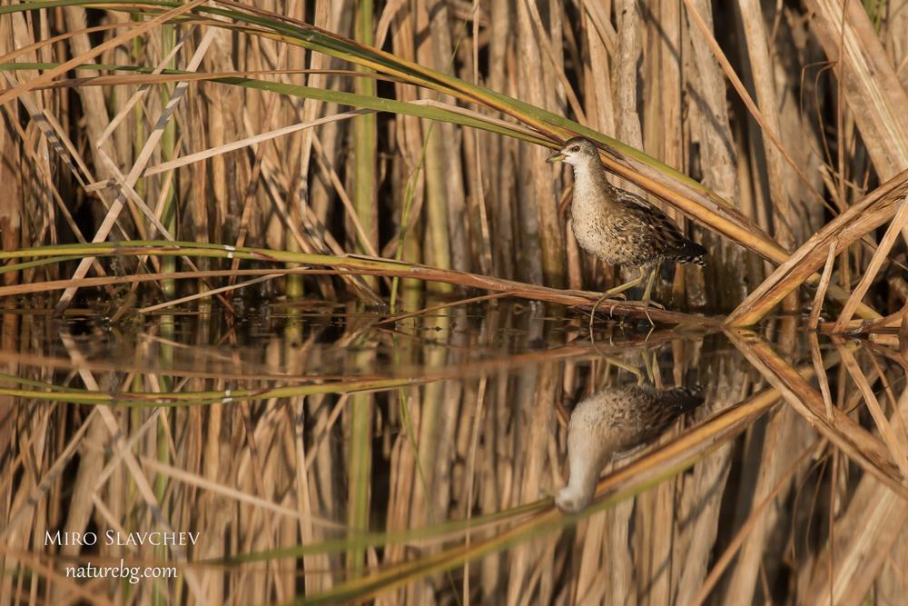 Little crake / Средна пъструшка (Porzana parva)