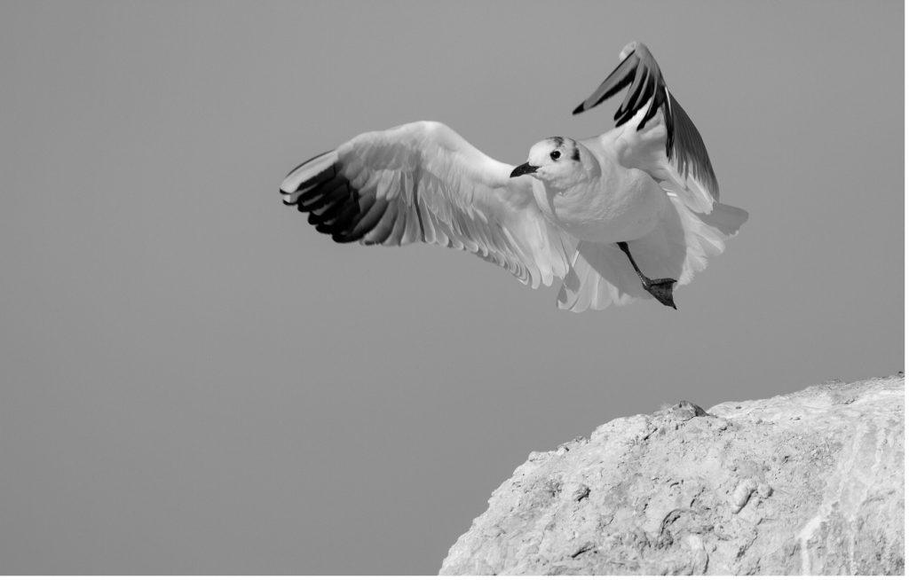 Black-headed gull / Речна чайка (Larus ridibundus)