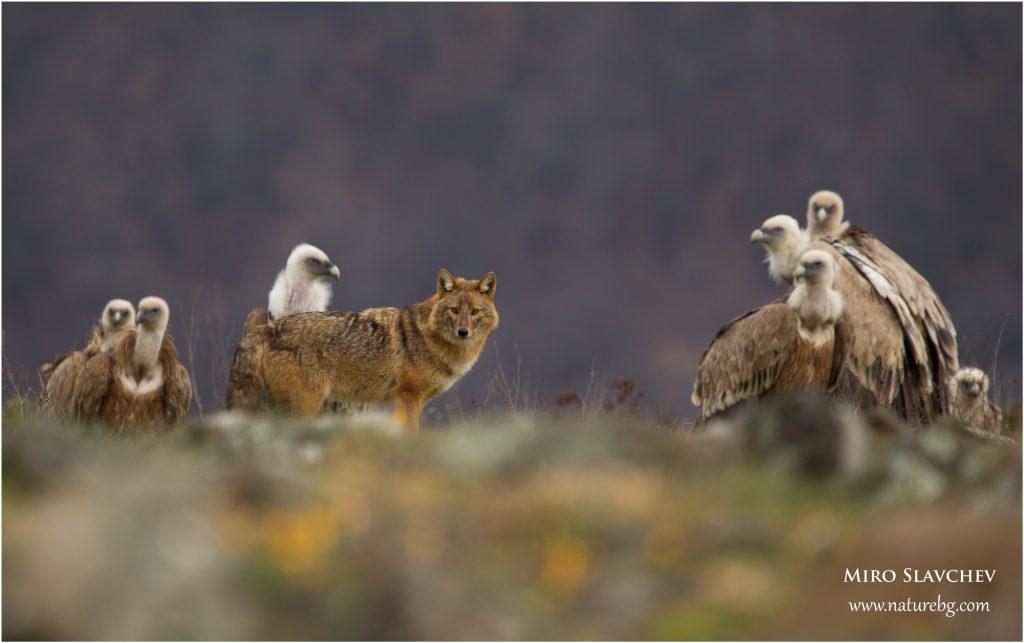 Golden jackal / Goldschakal / Златист чакал (Canis aureus) and Griffon vultures (Gyps fulvus)