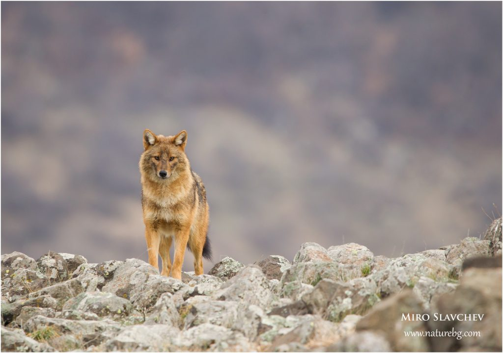 Golden jackal / Goldschakal / Златист чакал (Canis aureus)