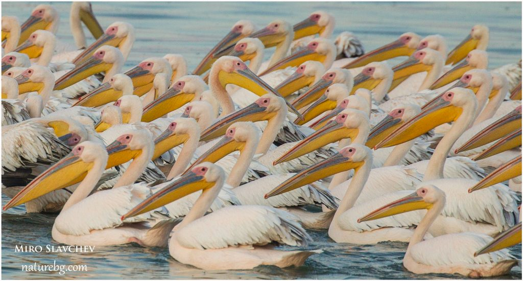 Great white pelican / Rose pelikane / Розов пеликан (Pelecanus onocrotalus)