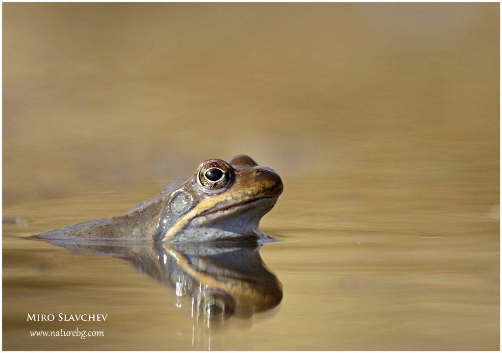 Common frog / Планинска жаба (Rana temporaria)