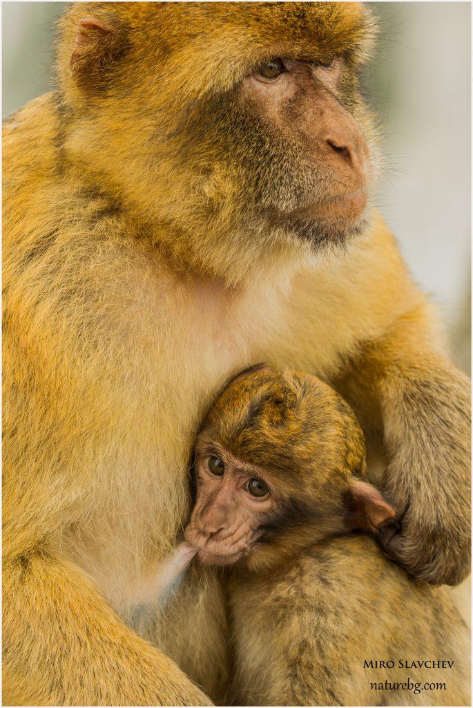Barbary macaque / Магот (Macaca sylvanus) from Gibraltar