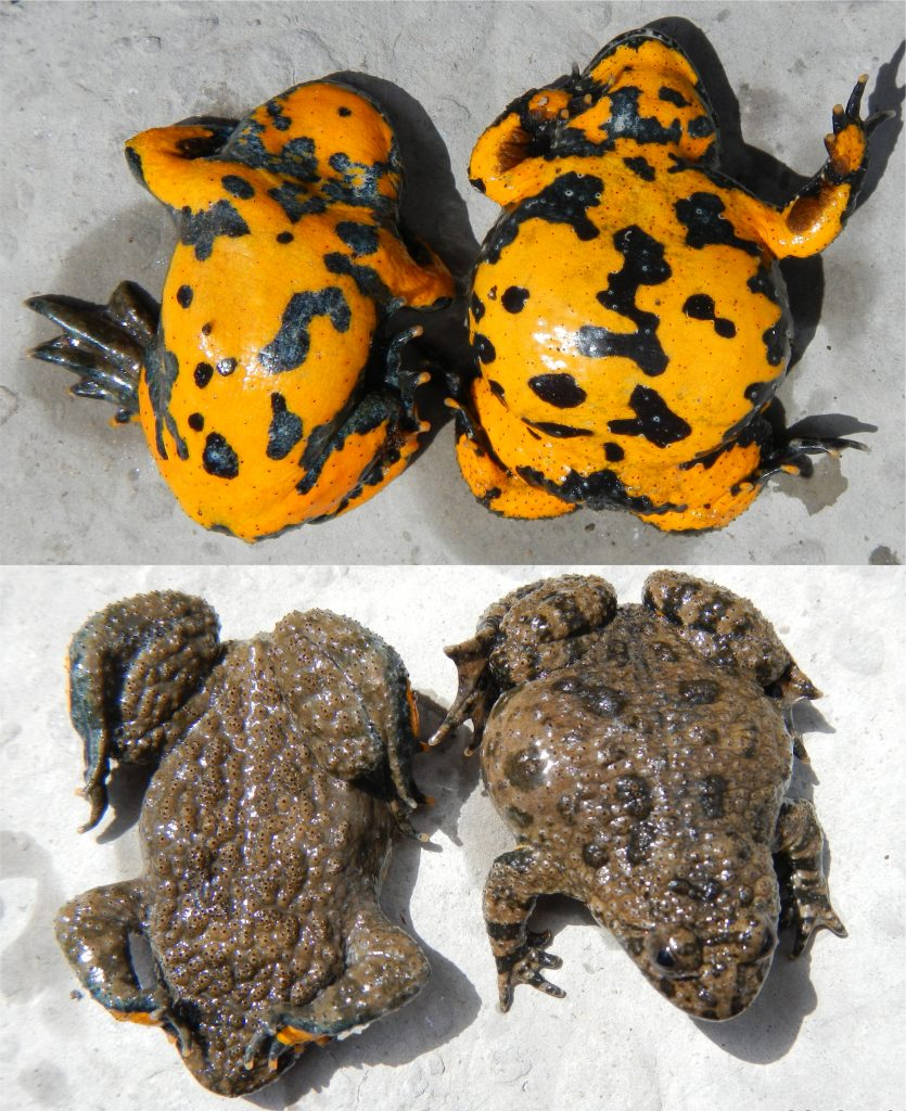 Yellow-bellied toad (left) and hybrid between Yellow and Fire-bellied (right)