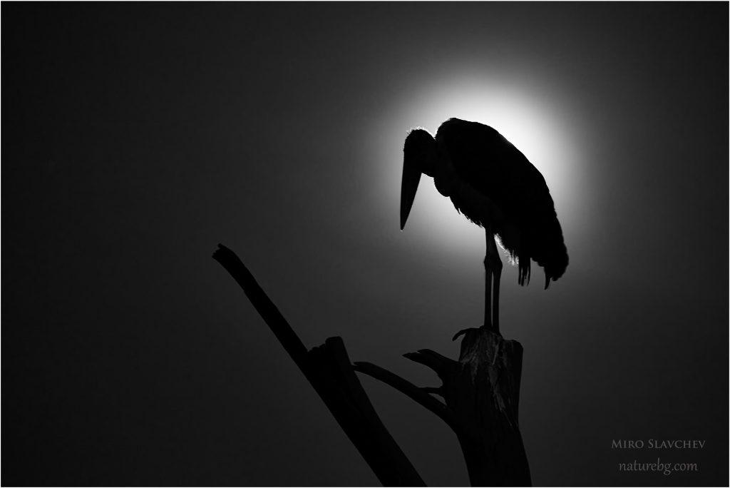 Marabou stork, Марабу (Leptoptilos crumeniferus)