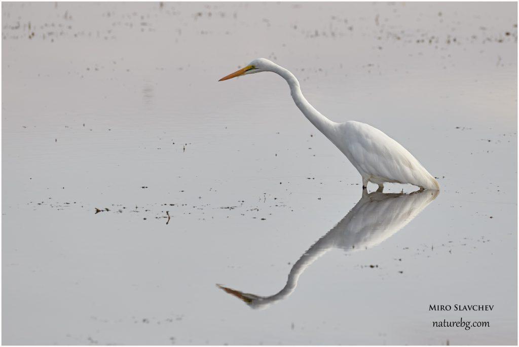 Great white egret / Голяма бяла чапла (Casmerodius albus)