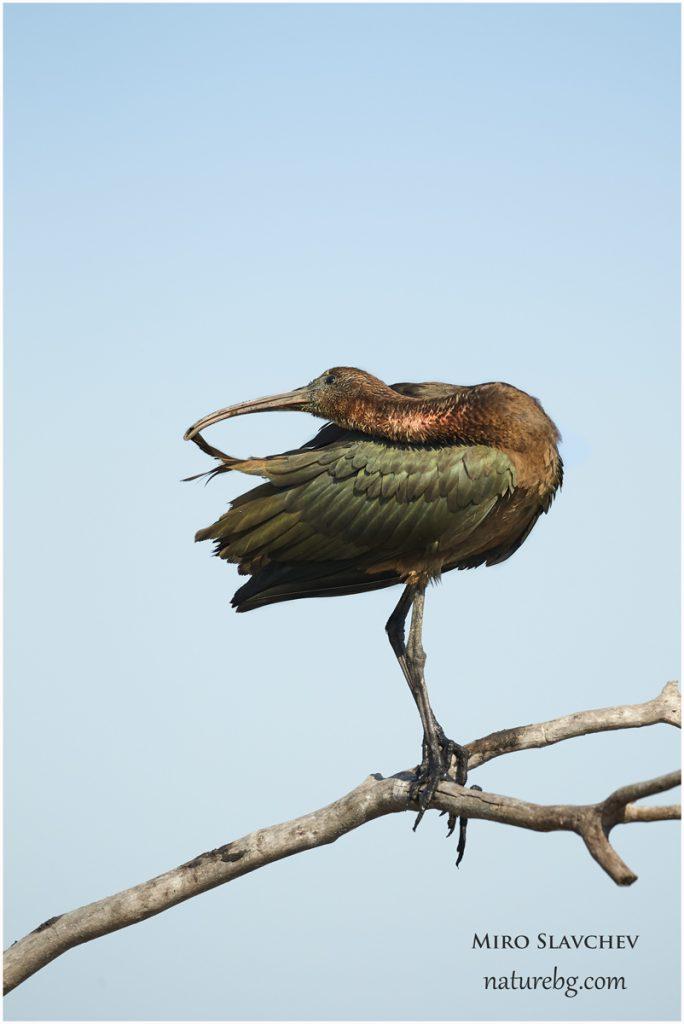 Glossy ibis, Блестящ ибис (Plegadis falcineus)