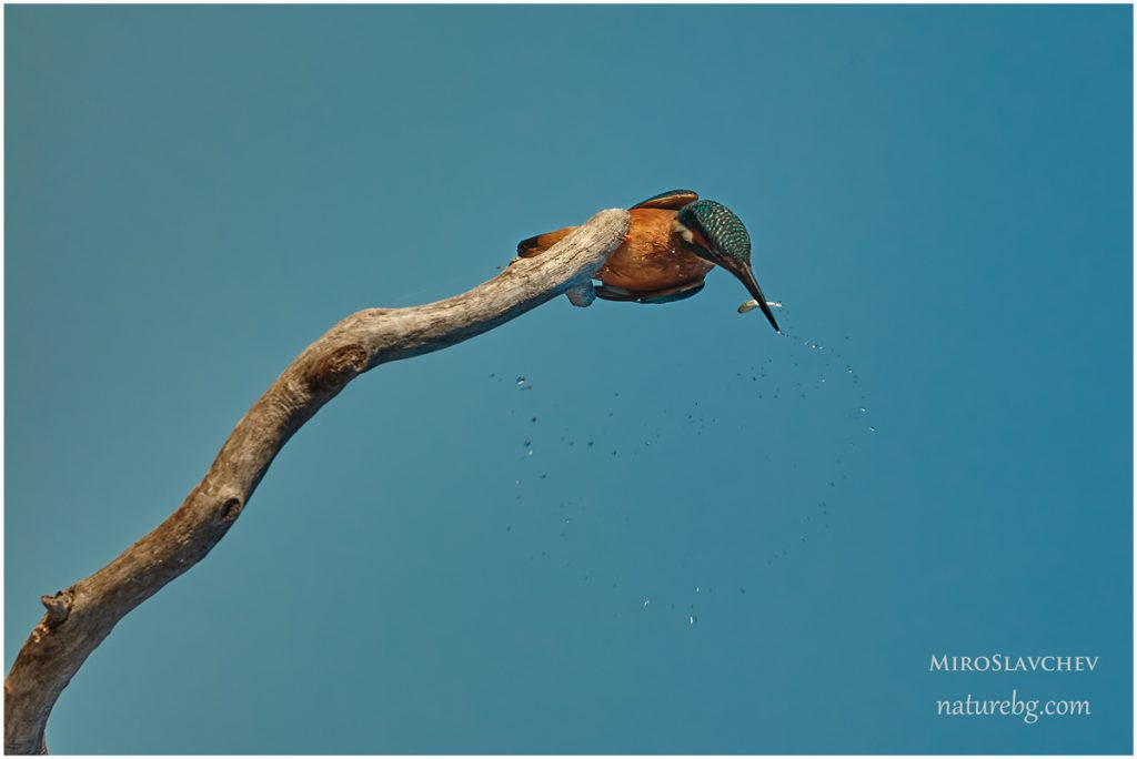 Kingfisher / Земеродно рибарче (Alcedo atthis)