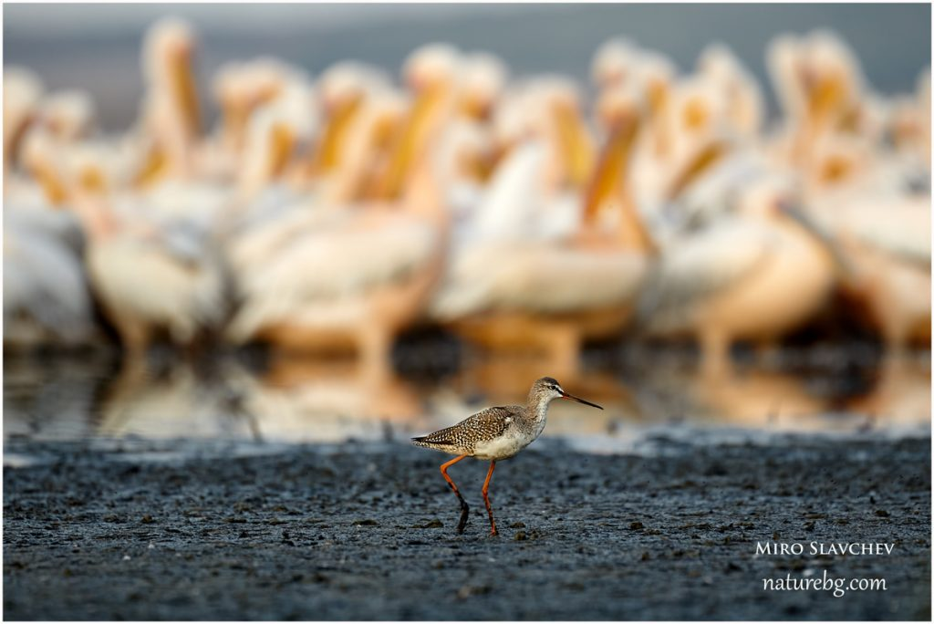 Spotted Redshank / Dunkler Wasserläufer / Голям червеноног водобегач (Tringa erythropus) infront of