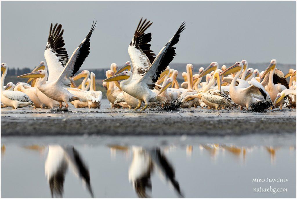 Great white pelican / Rose pelikane / Розов пеликан (Pelecanus onocrotalus)